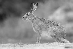 Hare by Bernd Hinterthan