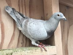 I'm so very fortunate that this recessive color has popped up in my racing homers. They are all down from my stock of Eisenhower, Golden Gaby and Black National from Mark Evans. Homing Pigeons, Opal, Random Drawings, Racing, Birds, Teaching English, Stupid, Pakistan, Animals
