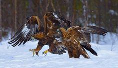 Golden Eagle (Aquila chrysaetos) by Ron McCombe Golden Eagle, Wildlife Conservation, Birds Of Prey, Raptors, Wildlife Photography, Beautiful Birds, Eagles, Bald Eagle, Creatures