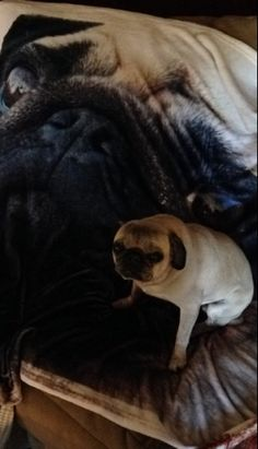 And this dog not too enthused that his human has a giant blanket of his face. | 17 Dogs Ashamed Of Their Humans