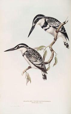 Black and White Kingfisher (Alcedo rudis).
