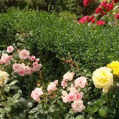 Jak Pielegnowac Roze Floral Wreath Floral Wreaths