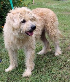 Luna is a 4-year-old female Terrier mix.  She is tan and has a medium to long length coat that is very soft; in fact she has the coat of a diva!  Luna weighs 45 pounds and will not get any bigger.  She is just a truly beautiful girl!  Luna is very...