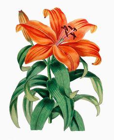 Antique botanical prints from Sydenham Teak Edwards, The Botanical Register, Vintage Botanical Prints, Botanical Drawings, Botanical Illustration, Botanical Flowers, Botanical Art, Vector Flowers, Orange Lily Flower, Lilies Drawing, Dibujos Tumblr A Color