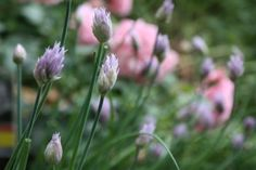 """My mother always plants chive plants with her roses. """"They keep away the aphids and prevent black spot,"""" she always tells me. It seems to be true because I have never seen a single aphid or black spot on any of her roses."""