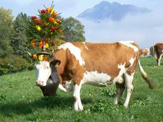 In Gruyeres Switzerland the cows get dressed up to come down from the alps to the winter pastures