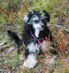 Chinese Crested, Powder Puff