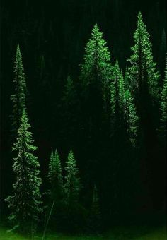 Forests | Majestic green conifers at break of dawn