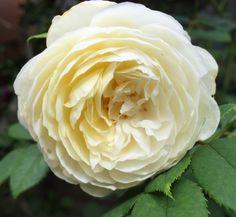 Rose Claire Austin Claire Austin Rose, Flowers, Plants, Plant, Royal Icing Flowers, Flower, Florals, Floral, Planets