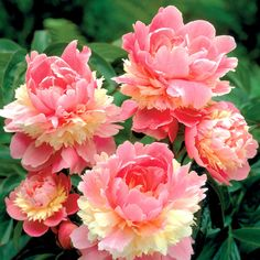 Peony Sorbet...helps to attract butterflies and hummingbirds to your habitat...