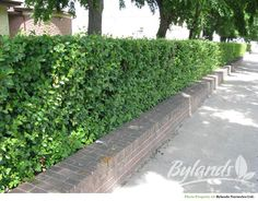 Hedge Cotoneaster - Cotoneaster lucidus | Bylands Nurseries Ltd. It drives me crazy that the hedges are consistently sheared in an inverted triangle here in Calgary.