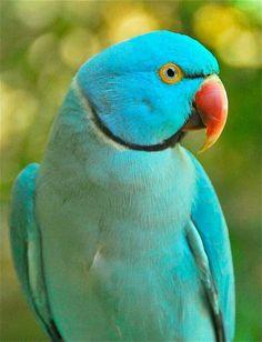 Blue Ringneck Parrot-pretty!