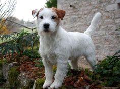 Jack Russell Terrier#dogs#Jack Beauty Fay (Jack Beauty kennel)