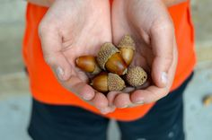 Real Acorns for Fall | Toad's Treasures