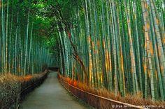 SAGANO BAMBOO GROVE, Arashiyama, Japan. #DestinationOfTheDay #Lingualia