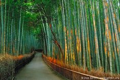 First Light at Sagano Bamboo Grove, Arashiyama, Kyoto, Japan / Ilya Genkin, via Flickr