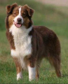Jenna, chien Berger australien