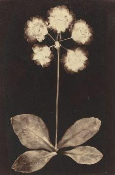 19th Century Botanical Print (photogram)