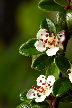 Cotoneaster | Flickr - Photo Sharing!