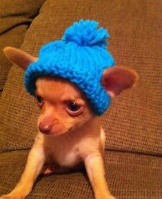 It's a chihuahua with a hat