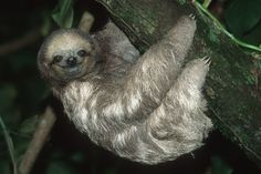 Tree sloths. I know how they're supposed to be cute and all, but...they look like they crawled right out of my nightmares.