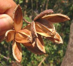 Semillas de Cedro (Cedrela odorata).