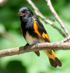 Wisconsin Bound: the american redstart .... another new bird