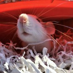 is it safe to come out mum? yes baby rattie it is Les Rats, Cute Rats, Rodents, Mice, Animal Photography, Inktober, Wonders Of The World, Animal Pictures, Tat