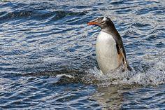 Gentoo Penguin, Gold Harbor, South Georgia Island