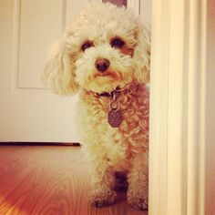 My beautiful toy poodle named Bella