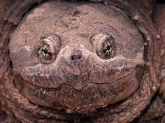 snapping turtle face - Google Search