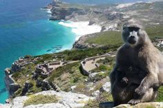 We offer Cape of Good Hope and Cape Point full-day tours to allow you to explore and experience the best of the Cape Peninsula anytime you want to go. Ocean Restaurant, Mountain Zebra, Boulder Beach, Kayak Adventures, Cape Town South Africa, Baboon, Sandy Beaches, Day Tours, Worlds Of Fun