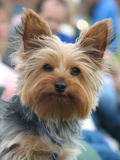 Surely you're not talking to me Found at:http://bit.ly/2fDS72a   Found at: http://itsayorkielife.com/surely-youre-not-talking-to-me/  #Yorkie,#YorkshireTerriers,#Yorkielove,#ItsaYorkieLife