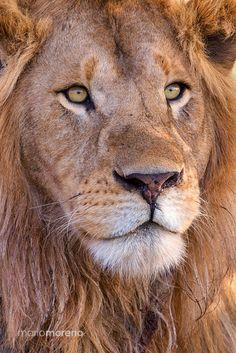A Regal Portrait - A close up portrait of a male Lion.