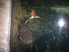 Red-tailed Catfish Red Tail Catfish, Bedroom Ideas, Aquarium, Fishing, Friends, Travel, Painting, Animals, Pisces