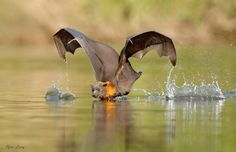 This is a truly amazing photo of a Flying Fox as it drinks. The Flying Fox photo was taken by Ofer Levy and is titled Balancing Act. Source: https://500px.com/photo/129637443/balancing-act-by-ofer-levy