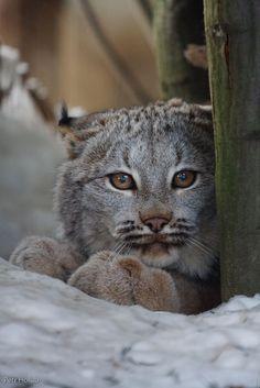 Canadian lynx cub.: