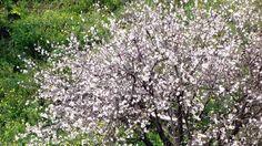 amendoeira flor