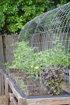 Here's a bunch of pictures from my spring garden. The cucumbers are finally starting to climb up the trellis. The last time I grew them, they took off up high, this time they didn't get the memo to climb up, and lazily have stayed low. I have lots of tomatoes growing and picked two bell …