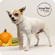 URGENT!  I am at a kill shelter in Troy, OH - Chihuahua. Meet Chilly, a dog for adoption. http://www.adoptapet.com/pet/11709430-troy-ohio-chihuahua