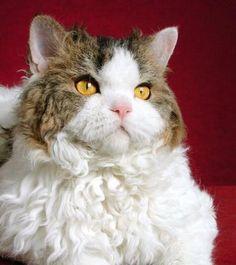 Selkirk Rex cat #cats #kittens #pets #animals