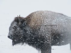 Winter Bison. » Such gorgeous creatures.