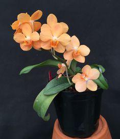 Inter-generic Orchid-hybrid: Vandaenopsis Irene Dobkin 'York' (Phalaenopsis Doris x Vanda miniatum) - Flickr - Photo Sharing!