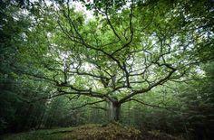 Tämä on se viisas Paavolan Tammi, jota muistuttavan puun kuvan haluaisin jalkaani