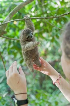 PHOTOS: Paralyzed baby sloth thrives at Costa Rica refugeThe Tico Times - sloth love - Babysafe Cute Little Animals, Cute Funny Animals, Cute Dogs, Cute Babies, Cute Baby Sloths, Cute Sloth, Baby Otters, Baby Animals Pictures, Cute Animal Pictures
