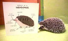 Anatomy of a Hedgehog card by SophieCorriganShop on Etsy