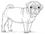 How to draw a pug dog Drawing tutorial