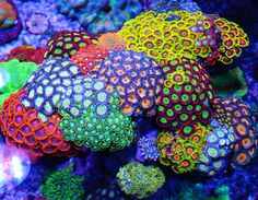 Many aquarium owners crave to someday own a saltwater tank displaying numerous kinds of coral. This may be achieved is fast easy steps if you use coral starter Saltwater Aquarium Beginner, Saltwater Aquarium Fish, Saltwater Tank, Marine Fish Tanks, Marine Tank, Coral Reef Aquarium, Marine Aquarium, Coral Reefs, Coral Garden