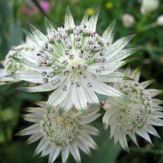 Astrantia major Shaggy - Astrance à jolies fleurs blanc verdâtre