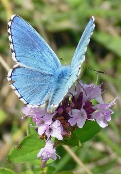 Adonis Blue (polyommatus bellargus) habitat in Britain is chalk and limestone grasslands Flying Flowers, Butterflies Flying, Beautiful Butterflies, Beautiful Birds, Beautiful World, Butterfly Kisses, Butterfly Flowers, Blue Butterfly, Mundo Animal